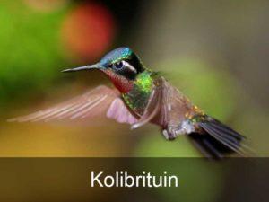 kolibrituin