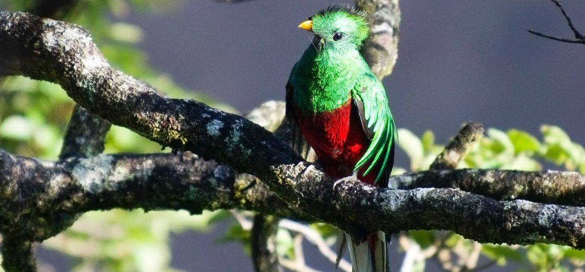 Vogels Costa Rica quetzal